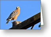 Red Tail Hawks Photo Greeting Cards - High Voltage Hawk Greeting Card by Lynn Bauer