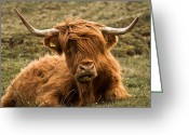 Snout Greeting Cards - Highland Cow Color Greeting Card by Justin Albrecht