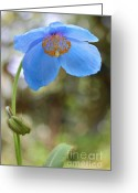 Blue Florals Greeting Cards - Himalayan Blue Poppy Flower  Greeting Card by Jennie Marie Schell