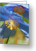 Blue Florals Greeting Cards - Himalayan Blue Poppy Flowers Greeting Card by Jennie Marie Schell