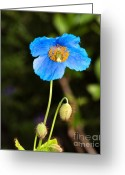 Flower Photograph Greeting Cards - Himalayan Blue Poppy Greeting Card by Louise Heusinkveld
