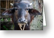 Steven Gray Greeting Cards - Hindu Cow Greeting Card by Steven Gray