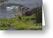 On-the-look-out Greeting Cards - Hippo on the Move Greeting Card by Darcy Michaelchuk