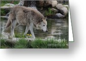Wolves Mixed Media Greeting Cards - His Majesty the Wolf Greeting Card by Photography Moments - Sandi