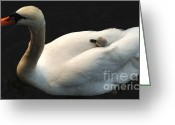 Canada Swan Greeting Cards - Hitching A Ride Greeting Card by Bob Christopher
