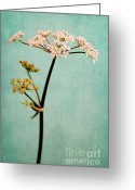 Dreamy Flower Greeting Cards - Hogweed Greeting Card by Iris Lehnhardt