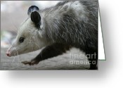 Mammal Photograph Greeting Cards - Hokey Pokey Greeting Card by Alan Look