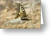 Mediterranean Butterfly Greeting Cards - Hold on Tight Greeting Card by Lainie Wrightson