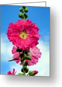 Hollyhock Greeting Cards - Hollyhocks Greeting Card by Kristin Elmquist
