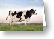 Cattle Greeting Cards - Holstein Dairy Cow Greeting Card by Cindy Singleton