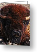 Bison Range Greeting Cards - Home On the Range Greeting Card by Bill Cannon and Pat Cannon