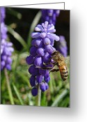 March Greeting Cards - Honey Bee and Grape Hyacinth Greeting Card by Chris Berry