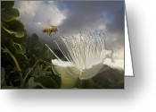 North America Greeting Cards - Honey Bee Apis Mellifera Approaching Greeting Card by Mark Moffett