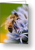 Honey Bee Greeting Cards - Honey Bee Greeting Card by Bill  Wakeley