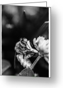 Pollinate Greeting Cards - Honey Bee Greeting Card by James Bull