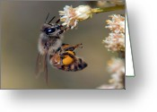 Holding Flower Greeting Cards - Honey Bee landing on wildflower Greeting Card by Steven Love
