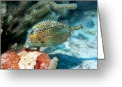 Honeycomb Greeting Cards - Honeycomb Cowfish Greeting Card by Georgette Douwma