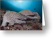 Honeycomb Greeting Cards - Honeycomb Moray Eel Pair Male Atoll Greeting Card by Reinhard Dirscherl