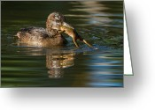 Got Greeting Cards - Hooded Merganser and bullfrog Greeting Card by Mircea Costina Photography