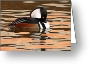 Crest Greeting Cards - Hooded Merganser On Colorful Water Greeting Card by Max Allen