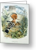 Natural Drawings Greeting Cards - Hoopoe Greeting Card by Edouard Travies