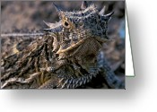 Horned Lizard Greeting Cards - Horn Toad Greeting Card by Gary Langley