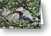 Hornbill Greeting Cards - Hornbill in the Kalahari Greeting Card by Bert Reitter
