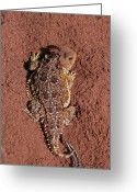 Horned Lizard Greeting Cards - Horned Lizard Greeting Card by Elizabeth Rose