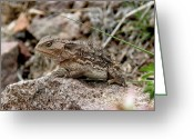 Horned Lizard Greeting Cards - Horned Toad Greeting Card by FeVa  Fotos