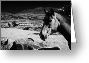 Dry Stone Wall Greeting Cards - Horse In Irish Rural Countryside Ireland Greeting Card by Joe Fox