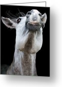 Animal Head Greeting Cards - Horse Pulling Face Greeting Card by Peter Meade