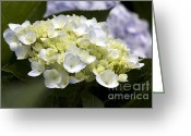 Patty Malajak Greeting Cards - Hortensia Greeting Card by Patty Malajak