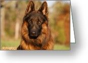 Alsatian Greeting Cards - Hoss in Autumn Greeting Card by Sandy Keeton