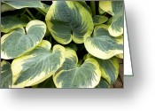 Snow-cap Greeting Cards - Hosta snow Cap Greeting Card by Adrian Thomas