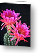 Night Blooming Greeting Cards - Hot Pink  Greeting Card by Saija  Lehtonen