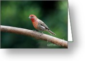 House Finch Greeting Cards - House Finch Bird . 40D7316 Greeting Card by Wingsdomain Art and Photography