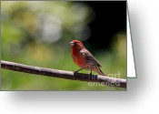 House Finch Greeting Cards - House Finch Bird . 40D7605 Greeting Card by Wingsdomain Art and Photography