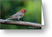 House Finch Greeting Cards - House Finch Bird . 40D8331 Greeting Card by Wingsdomain Art and Photography