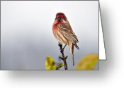 House Finch Greeting Cards - House Finch in Autumn Rain Greeting Card by Laura Mountainspring