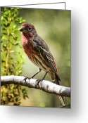 House Finch Greeting Cards - House Finch  Greeting Card by Saija  Lehtonen