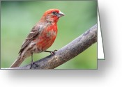 House Finch Greeting Cards - House Finch Greeting Card by Wingsdomain Art and Photography