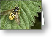 Black Wings Greeting Cards - Hover Fly (chrysotoxum Cautum) Greeting Card by Adrian Bicker