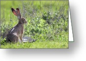 Hare Greeting Cards - How About Two Out of Three Greeting Card by Wingsdomain Art and Photography