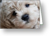 Brown Framed Prints Greeting Cards - How Much Is That Doggy in the Window Greeting Card by Lisa  DiFruscio