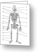 1555 Greeting Cards - Human Skeleton, Historical Artwork Greeting Card by Middle Temple Library