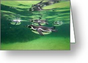 Four Animals Greeting Cards - Humboldt Penguin Greeting Card by Takashi Kitajima