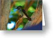 S. California Greeting Cards - Hummingbird 3 Greeting Card by Helen Carson