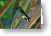 S. California Greeting Cards - Hummingbird 4 Greeting Card by Helen Carson