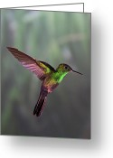 Red Greeting Cards - Hummingbird Greeting Card by David Tipling
