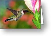 Full-length Greeting Cards - Hummingbird Feeding On Hibiscus Greeting Card by DansPhotoArt on flickr